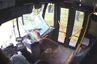 Bizarna snimka jelena koji kroz vjetrobransko staklo ulijeće u autobus